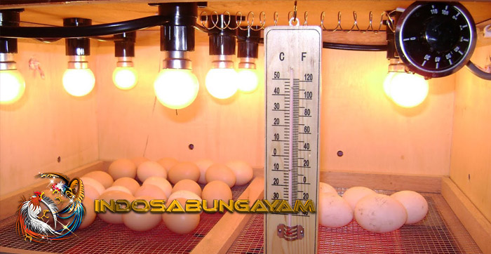 Cara Tepat Menggunakan Mesin Penetas Ayam Bangkok