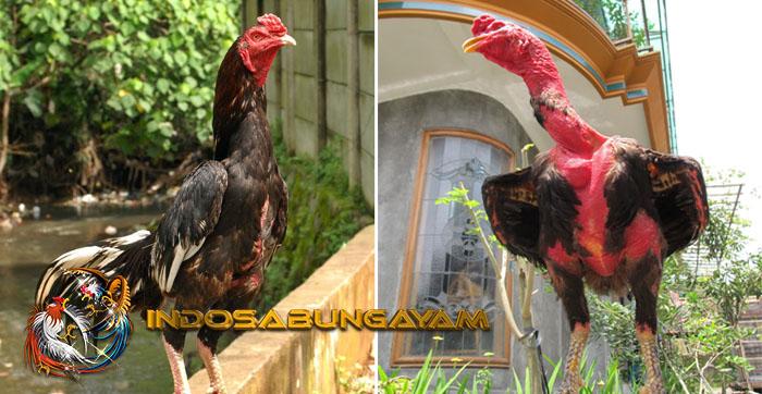Inilah Cara Meningkatkan Nafsu Makan Ayam Bangkok Supaya Berotot
