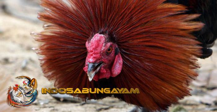 Jamu Meningkatkan Adrenalin Ayam Bangkok Supaya Galak