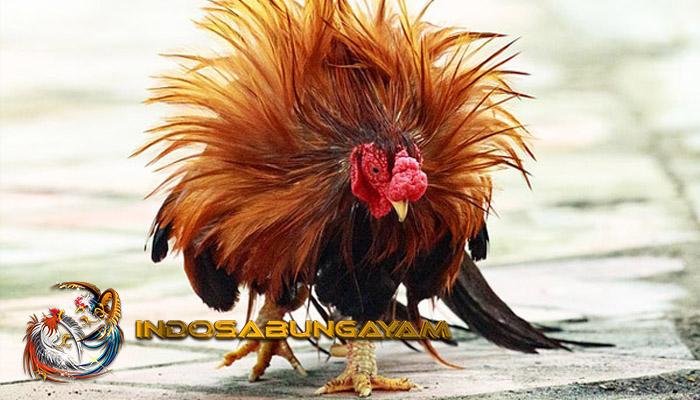 Obat Paling Ampuh Untuk Ayam Bangkok Lebih Garang