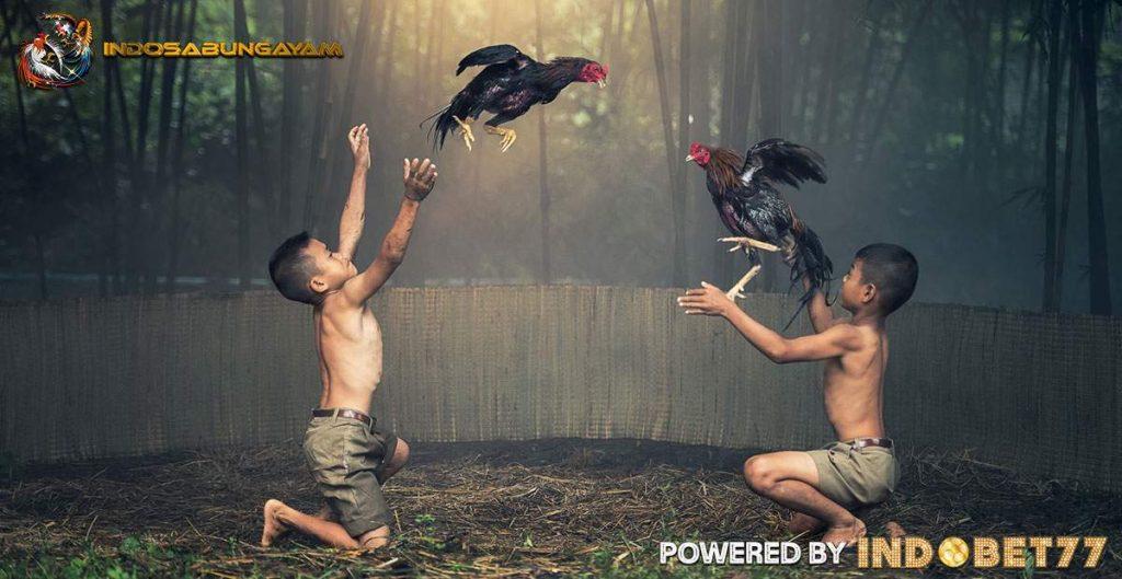 Sabung-Ayam-Online-indosabungayam
