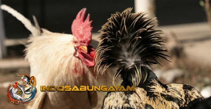 Tips Ampuh Dalam Mengatasi Ayam Aduan Turun Urat