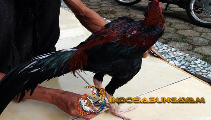 Tips Membentuk Jalu Pada Ayam Bangkok Mematikan