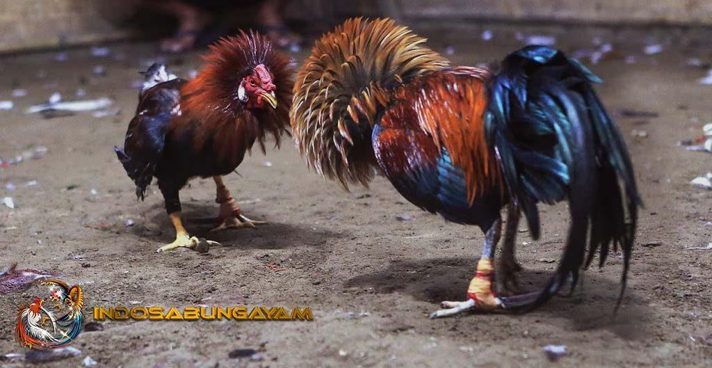 Trik Curang Memenangi Ayam Bangkok Aduan Di Arena Sabung