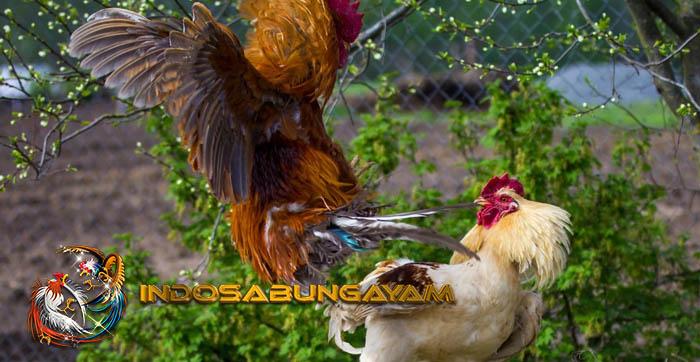Ayam Shamo, Ninja Mini Bobot Besar Asal Jepang
