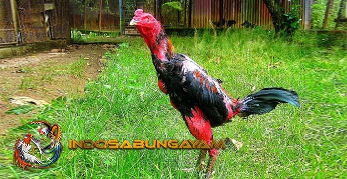 Cara Melihat Ayam Saigon Asli Supaya Tidak Tertipu