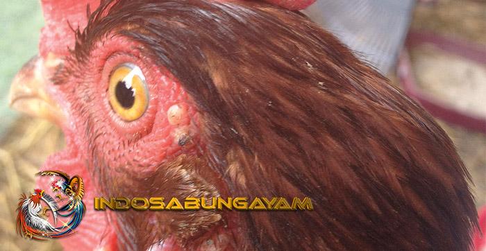 Cara Mengatasi Serta Mencegah Ayam Bangkok Sakit Cacar
