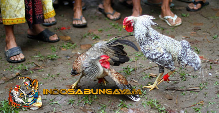 Jenis Beserta Harga Ayam Aduan Asli Asal Thailand