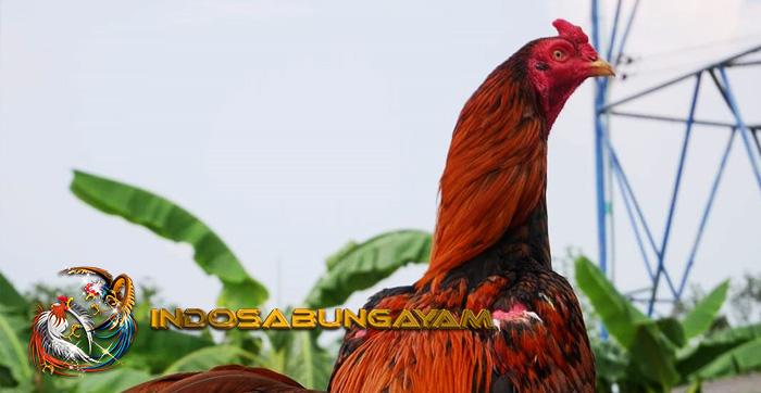 Langkah Untuk Menjadikan Leher Ayam Bangkok Kebal