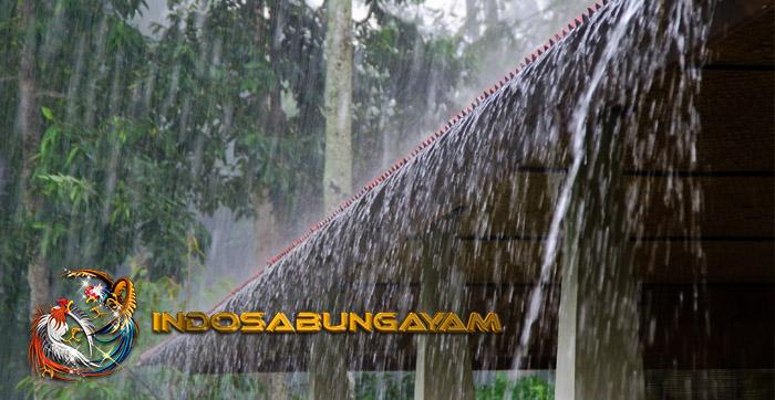 Mengatasi Penyakit Ayam Bangkok Saat Musim Hujan