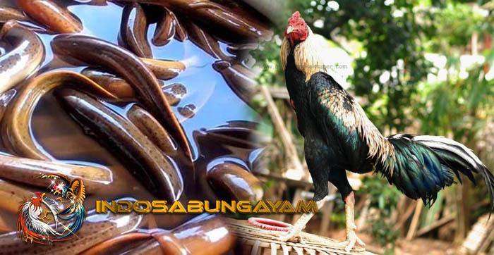Pakan Paling Bermanfaat, Daging Belut Untuk Kekebalan Ayam Bangkok