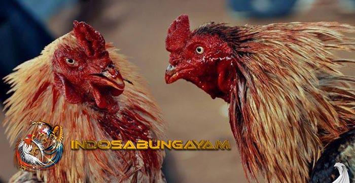Cara Mengatasi Penyakit Lesu Pada Ayam Bangkok