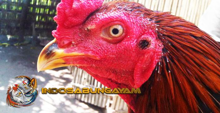 Cara Meruncingkan Paruh Ayam Aduan, Modal Utama Kemenangan