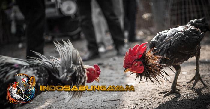 Ciri Ciri Ayam Jago Bangkok Paling Sering Di Incar Kolektor