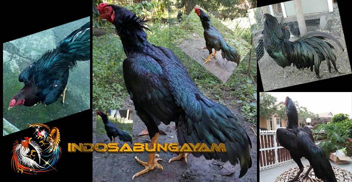 Ciri-ciri Dan Kehebatan Ayam Bangkok Kumbang Hitam