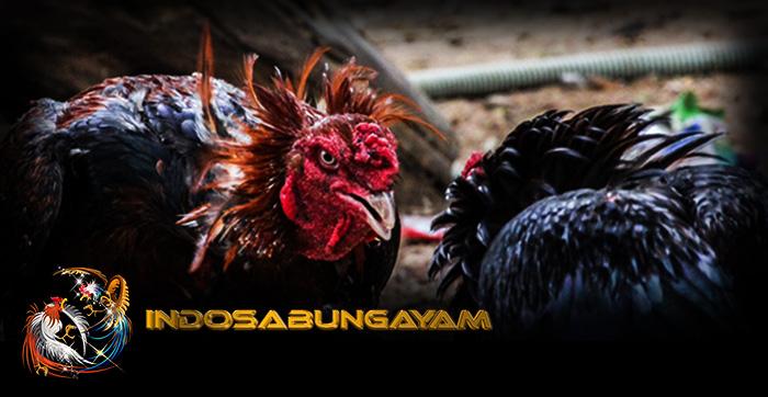 Ciri-ciri Karakteristik Gaya Bertarung Ayam Aduan Terlihat Dari Fisik