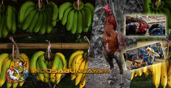 Dampak Kasiat Dari Pemberian Pisang Untuk Ayam Bangkok