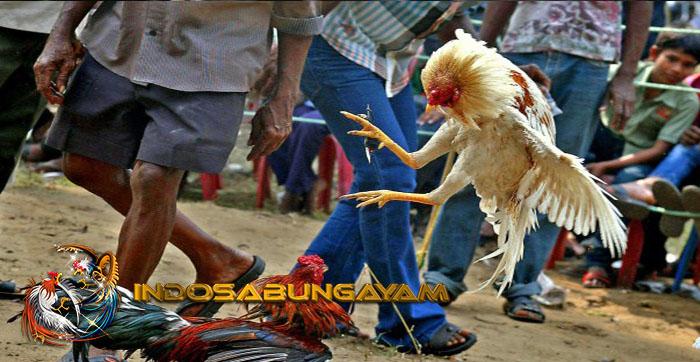 Jenis Ayam Bangkok Jalak Dengan Sebagai Ayam Pembunuh Licik