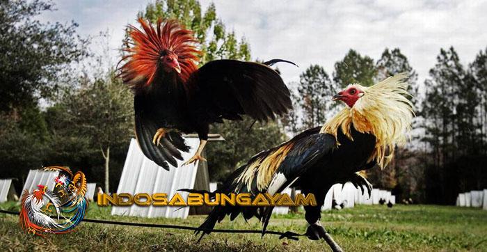Melatih Pukulan Ayam Bangkok Menjadi Lebih Keras