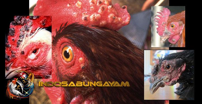 Mencegah Serta Merawat Penyakit Cacar Pada Ayam Bangkok