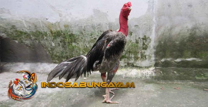 Mengenal Kelebihan Dan Kelemahan Ayam Saigon Aduan