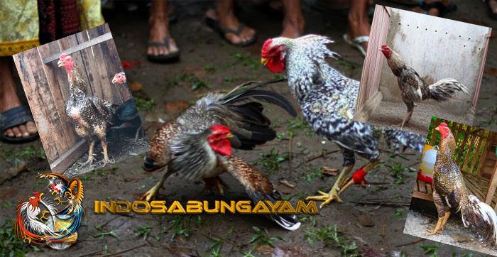 Mengetahui Potensi Kelebihan Dan Kekurangan Ayam Aduan Brazil