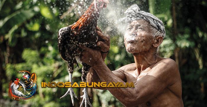 Pengalaman Sabung Ayam Di Bali, Darah Untuk Mengusir Roh Jahat