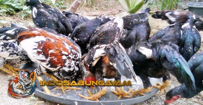 Cara Hemat Dalam Meracik Pakan Ayam Bangkok