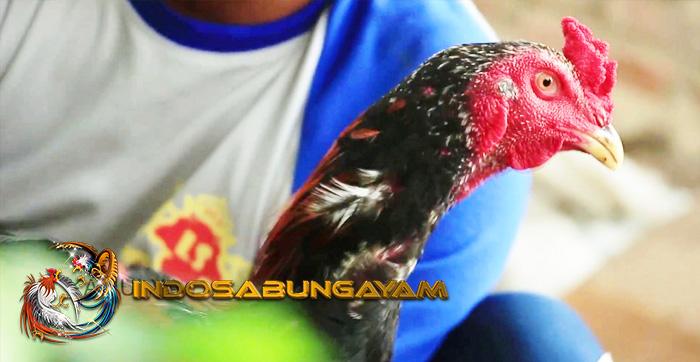 Wajib Mengenal Semua Ayam Aduan Untuk Menjadi Juara