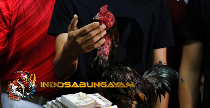 Cara Membedakan Ayam Bangkok vs Keturunan atau Lokal