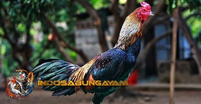 Cara Mengatasi Hilangnya Nafsu Makan Pada Ayam Aduan