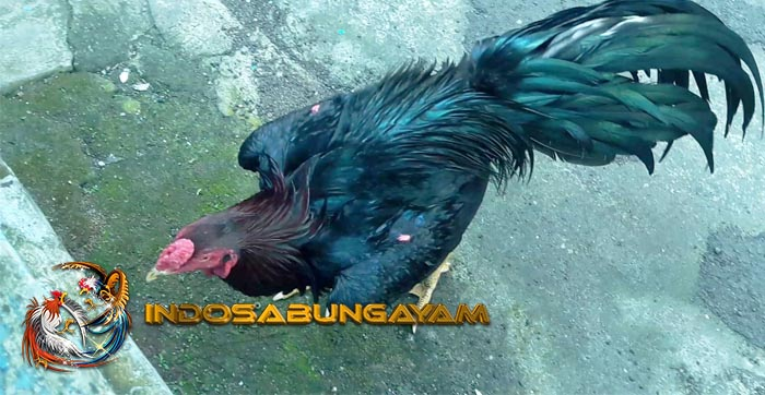 Ciri Ciri dan Keunggulan Ayam Bangkok Kumbang Hitam