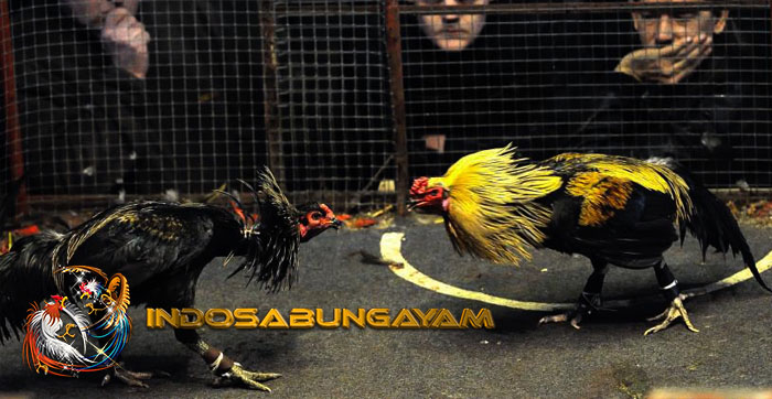 Kesalahan Dalam Merawat Ayam Aduan Yang Harus Dihindari