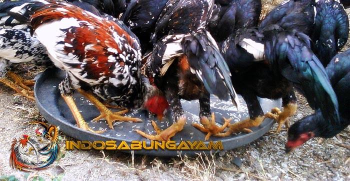 Ketahui Dampak Berbahaya Pemberian Pakan Ayam Aduan Sembarangan