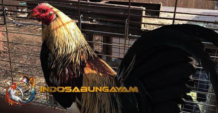 Kuat Karena Kekuatan Mistik, Ayam Bangkok Wiring Kuning Asli Thailand