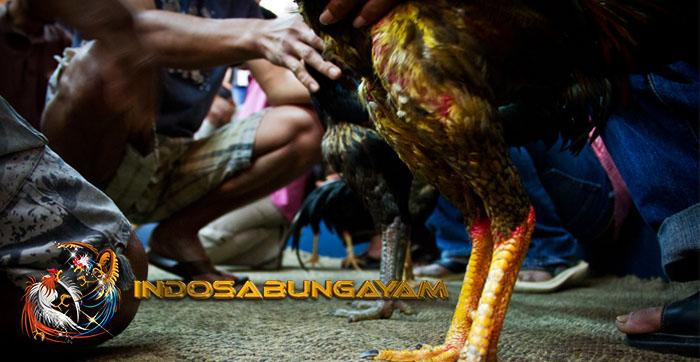 Cara Gampang Melatih Otot Sayap Dan Kaki Ayam Aduan