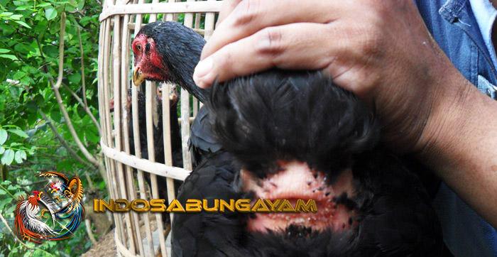 Mengobati Dubur Ayam Betina Yang Keluar Dengan Langkah Mudah