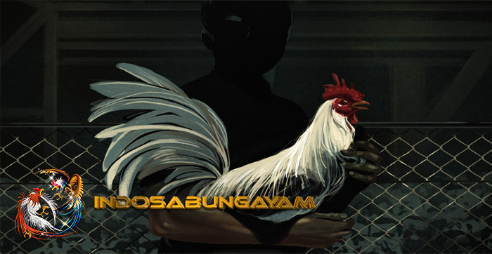 PERHATIAN! Cara Merawat Ayam Aduan Berbahaya, Jangan Di Coba