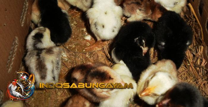 Pakan Anak Ayam Aduan Untuk Menjadi Petarung Mematikan