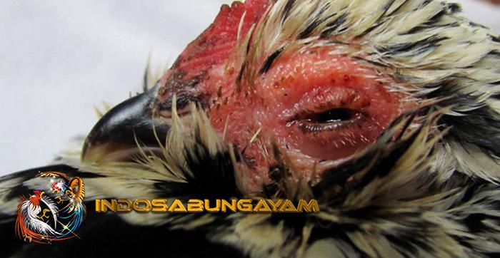 Penyebab Penyakit Kuning Pada Ayam Aduan, Harus Di Atasi