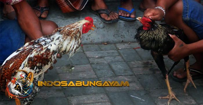 Makanan Untuk Meningkatkan Pukulan Ayam Aduan