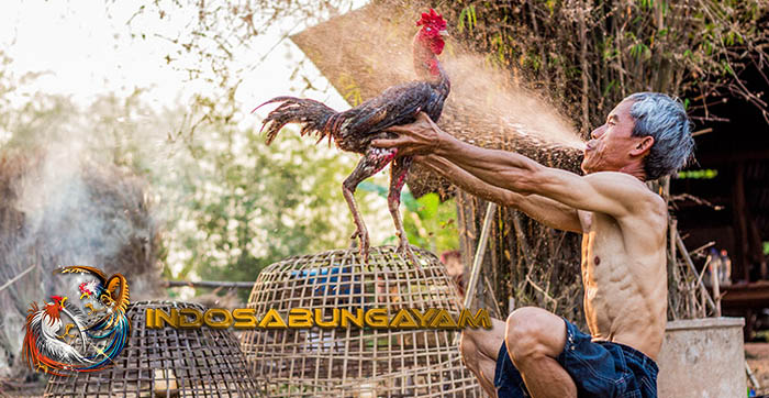 Sisik Kaki Ayam Aduan Pembunuh Dan Mematikan